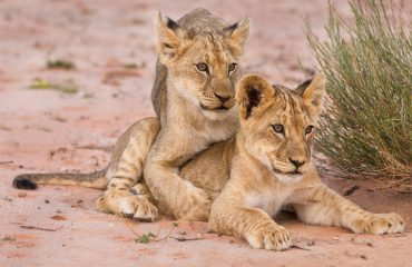 Young lion cubs play helps them hone vital skills such as hunting in preparation for adulthood