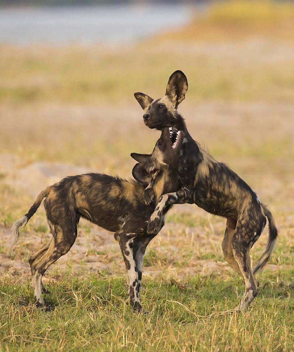 African Wild Dog puppies at play