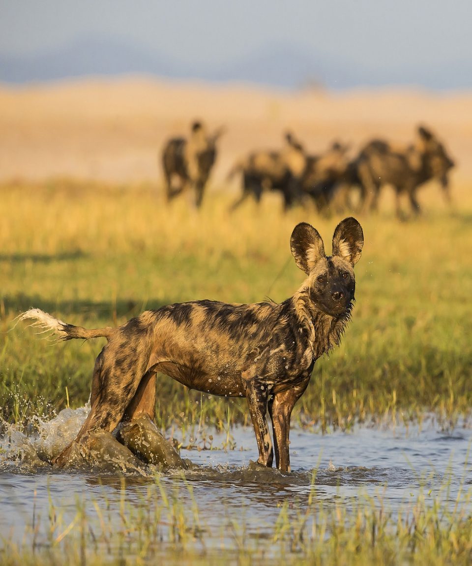 Wild Dog in Water