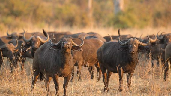 African Bufallo bull with herd