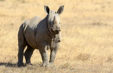A rhinoceros calf is born after an 18 months gestation period. She will then stay with her mother until she gains independence at approximately 3 years of age.