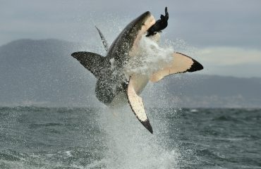 Great White Shark (Carcharodon carcharias) breaching in an attack.