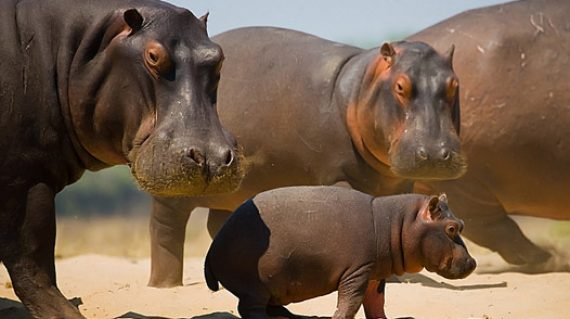 Group of hippos stands on the bank.