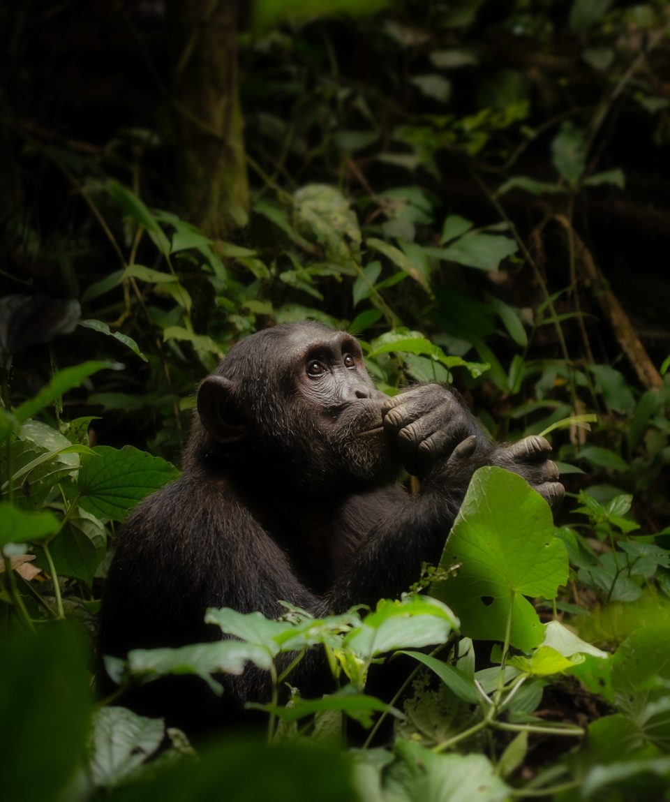 A male common chimpanzee (genus - Pan) sitting in the thick forest looking up at the sky, with his hand on his chin, as though he is in contemplation. Kibale National Park, Uganda.
