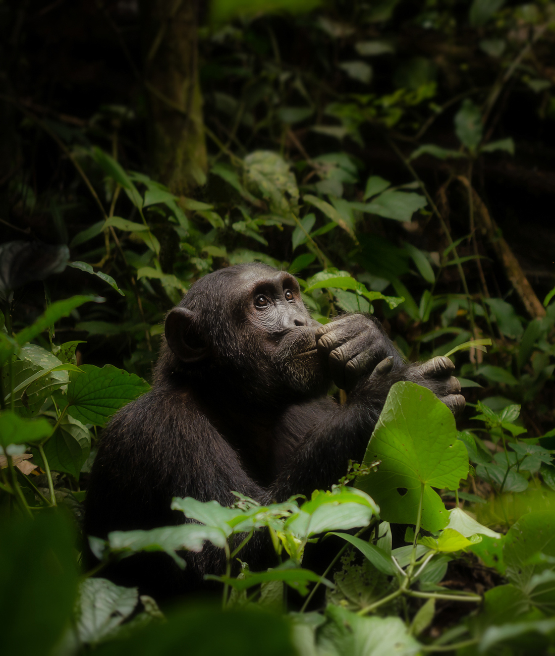 Chimpanzee trekking experiences- Ultimate Wildlife Adventures