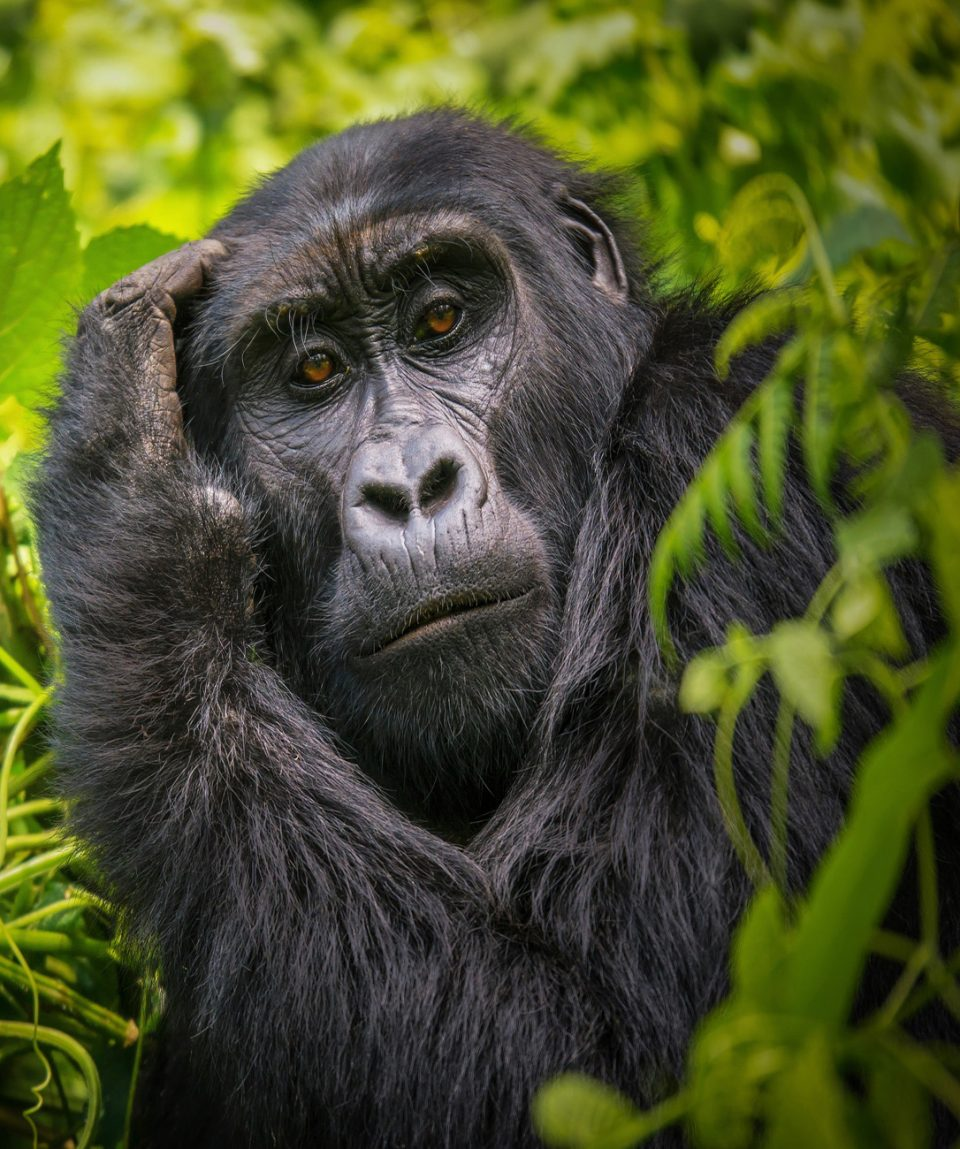 A close-up portrait of a female mountain gorilla, showing the details of her facial features, in its natural forest habitat in Uganda.