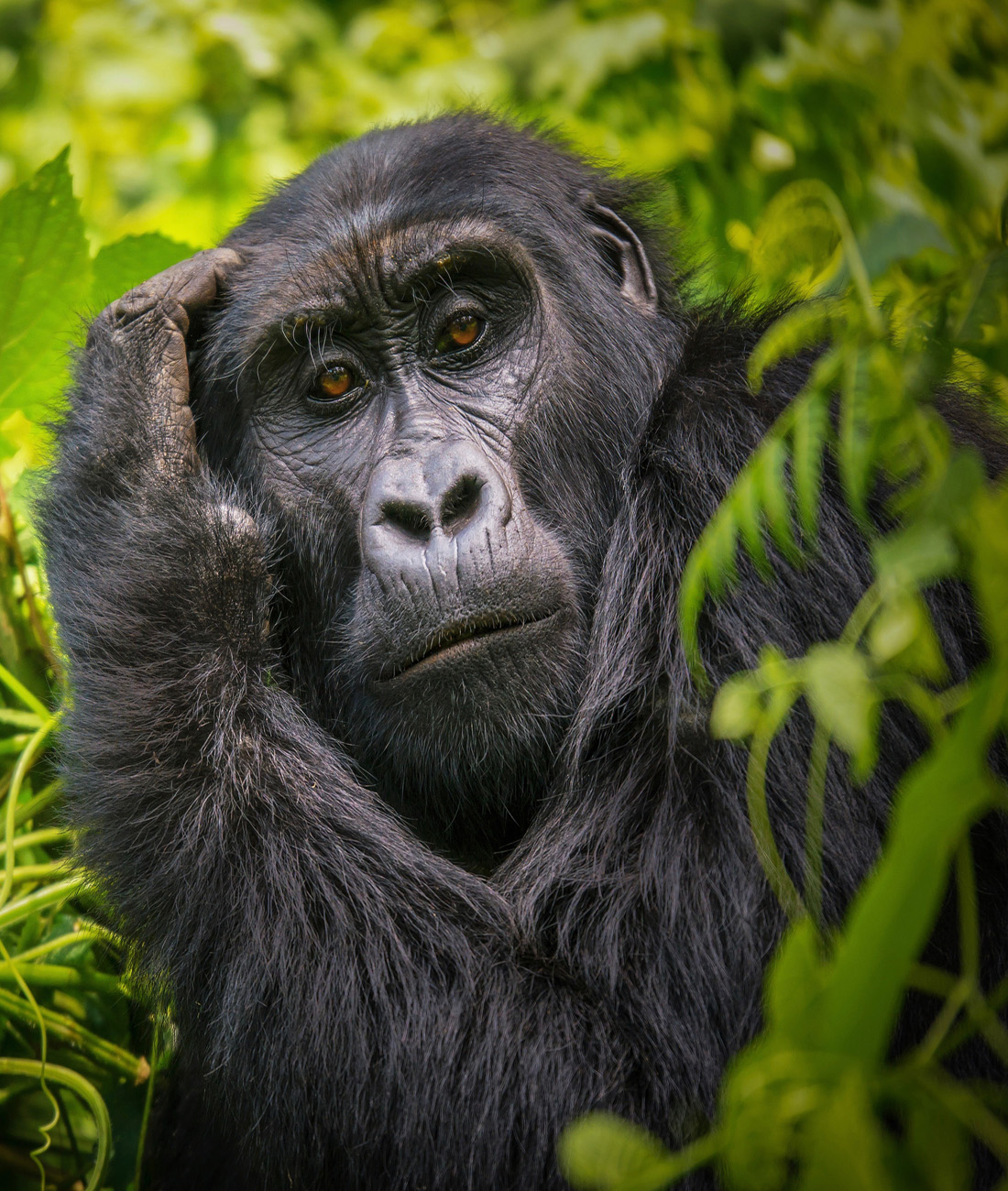 Mountain gorilla trekking experiences- Ultimate Wildlife Adventures