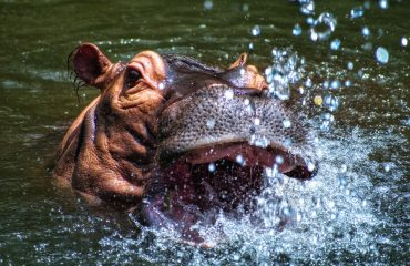 Hippopotamus interactions are at extremely close quarters during water-based activities.