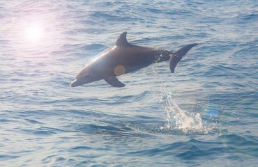 The dolphin is one of South Africa's so called Big 5 marine species