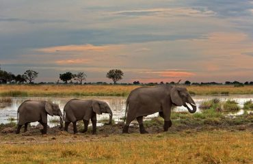 Elephants are abundant in the Linyanti and can often be seen around Kwando Lagoon Camp.
