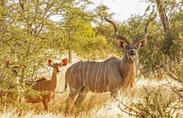 Greater Kudu are large antelope weighing up to 315 kilograms. They are found mainly in wooded areas.