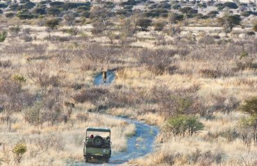 Tracking the rare Kalahari black-maned lions.