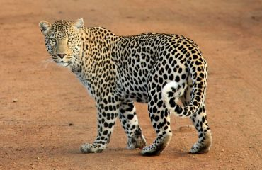 The IUCN have listed the leopard's conservation status as vulnerable, a reaction to the fact it exists in only 25% of its historic range.