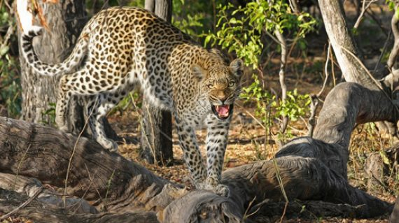 Leopard snarling daily itinerary