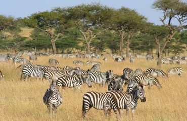 Zebra are in abundance when the Great Migration rumbles into town (late July through October)