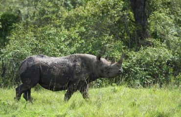 White rhinoceros are resident in the Naboisho Private Reserve