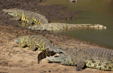 Did you know? Crocodiles can go without food for up to 3 years. Some may not have eaten since the last migration river crossing the previous year.