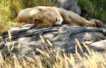 Did you know? Lions sleep for approximately 20 hours per day