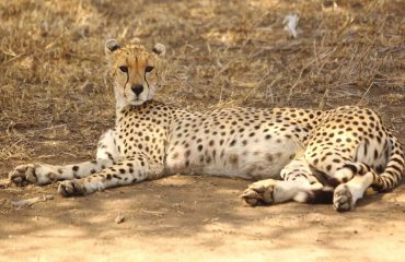 Although well recognised the cheetah is a prized sighting on safari. With only an estimated 6700 individuals remaining in the wild the species has been listed as vulnerable by the IUCN.