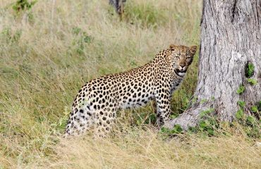 Leopards are extremely solitary animals. Two leopards together means a male and female are mating or a mother and cub.