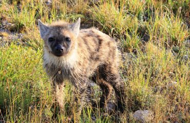 A juvenile spotted hyena, although cute on the eye now, will possess the strongest jaws on the African plains by adulthood.