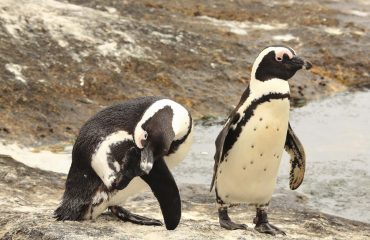African penguins, although abundant at Simon's Town, are listed as endangered by the IUCN