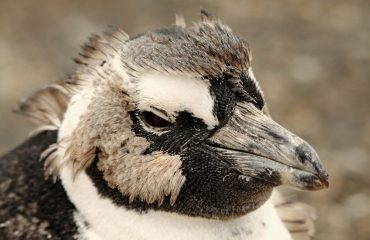 A juvenile African penguin moulting her first feathers
