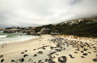 Boulders Beach at Simon's Town on the Cape Peninsula affords exceptional interactions with endangered African penguins.