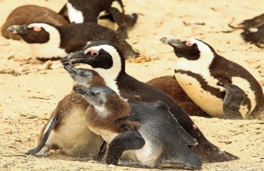 The endangered African penguin occurs in abundance at Boulders Beach