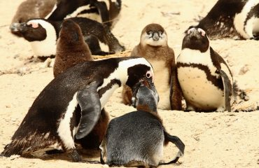 Feeding time at Boulders Beach