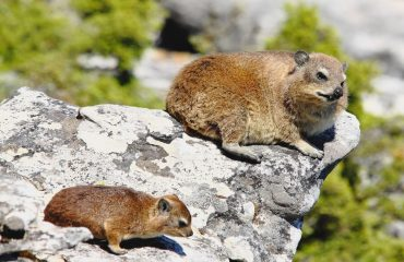 Rock Hyrax, or Dassies as they are known in the local Afrikaans language, are regular sightings atop Table Mountain