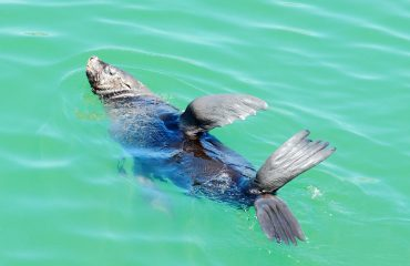 Cape Fur Seals can be seen throughout the waters around Cape Town & the Cape Peninsula