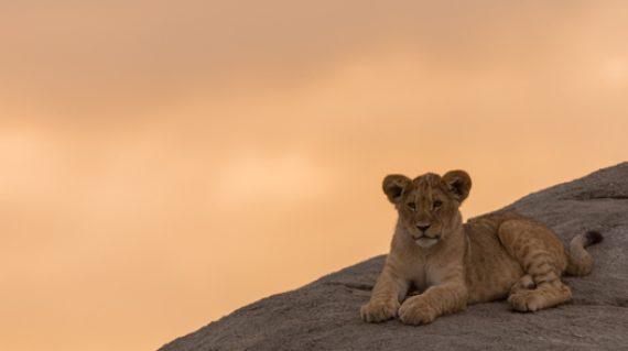 lion cub 526 x 351