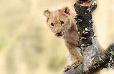Lions cubs begin to feed on kills at 3 months of age and are completely weaned from their mothers at 6 months of age.