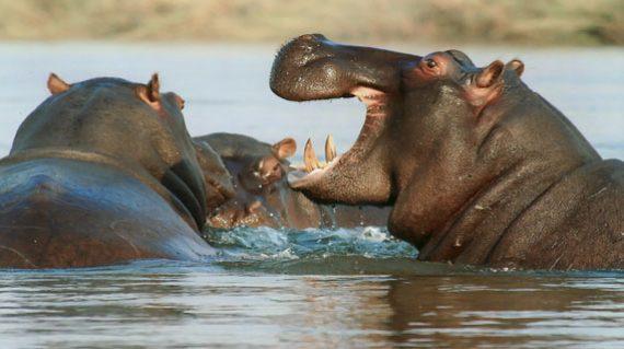 DI Hippo splashing