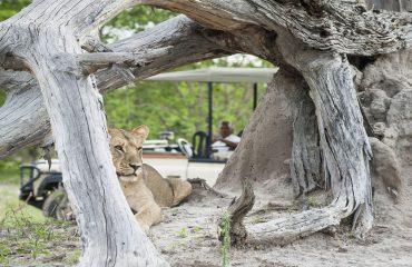 Lion sightings