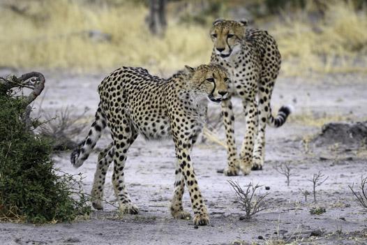 Cheetah sighting on a Botswana Safari- Ultimate Wildlife Adventures